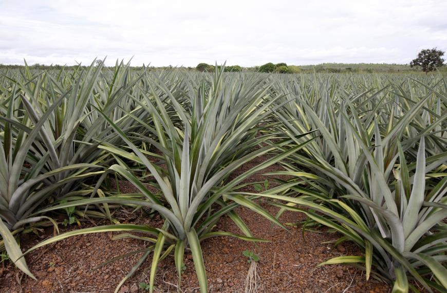 Foto de Produção de abacaxi avança nos municípios do sul do Pará