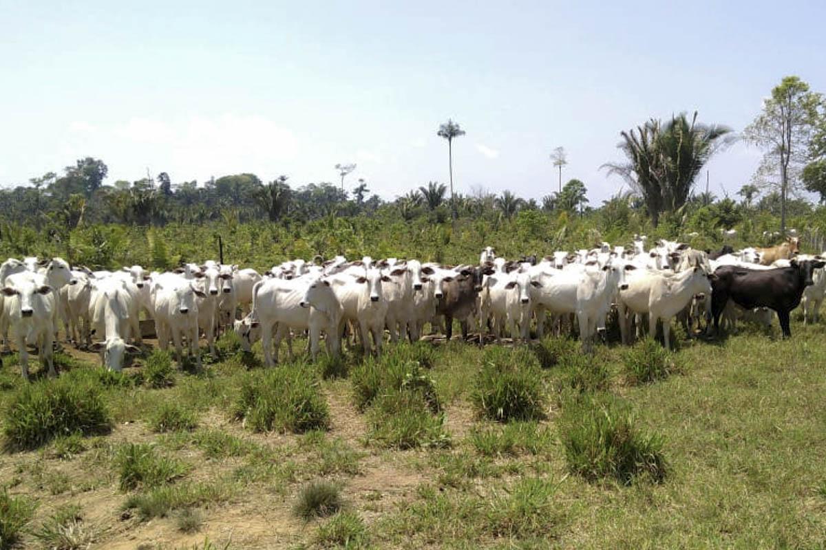 Foto de São Félix do Xingu: IBAMA apreende 1.388 cabeças de gado criado em área embargada